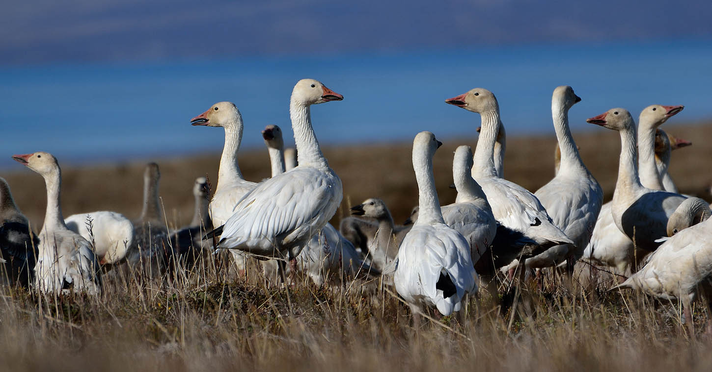 Greater Snow Geese Beardsell