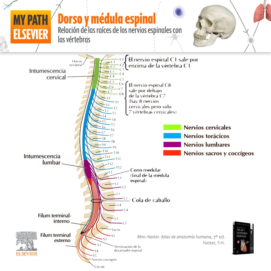Relación de las raíces de los nervios espinales con las vértebras