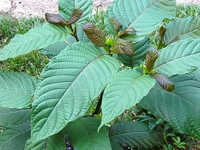 Originating from a Southeast Asian tree, Kratom was traditionally used as early as the late 1800s by manual laborers from Thailand and Malaysia for the purposes of euphoria, stimulation, euphoria, analgesia and opium withdrawa (Photo by ThorPorre for Wikimedia Commons)