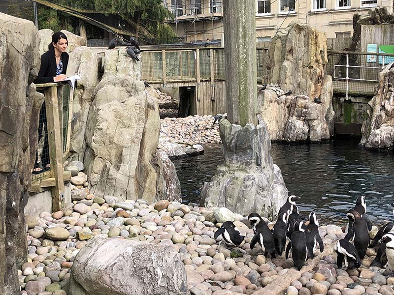 Dr. Alison Cotton observes the African penguins – an endangered species – at the Bristol Zoological Society.