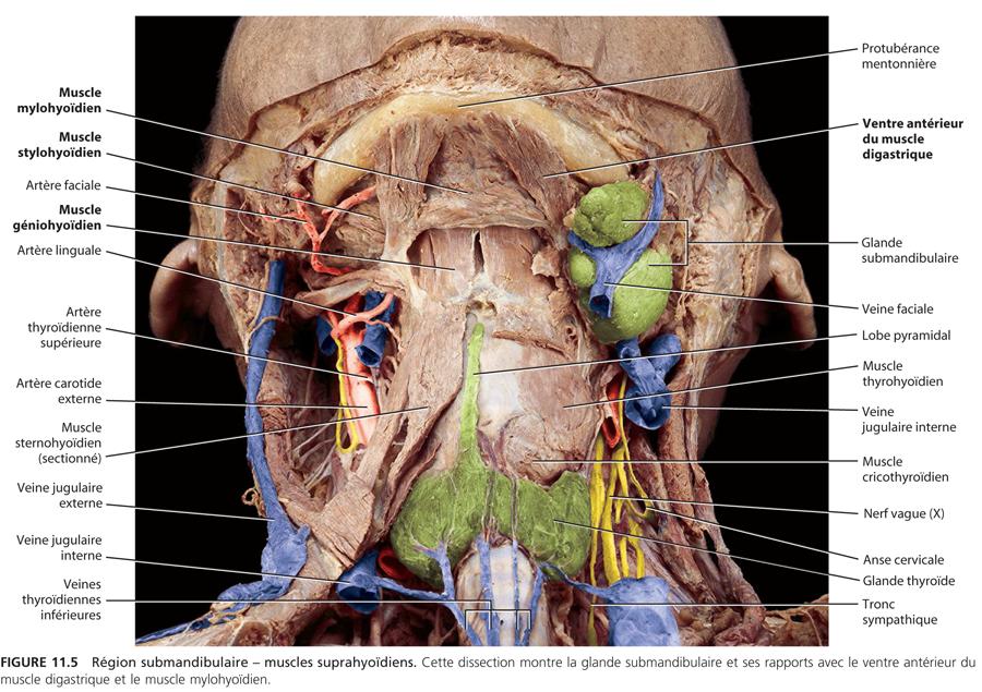 Région submandibulaire : Anatomie_5
