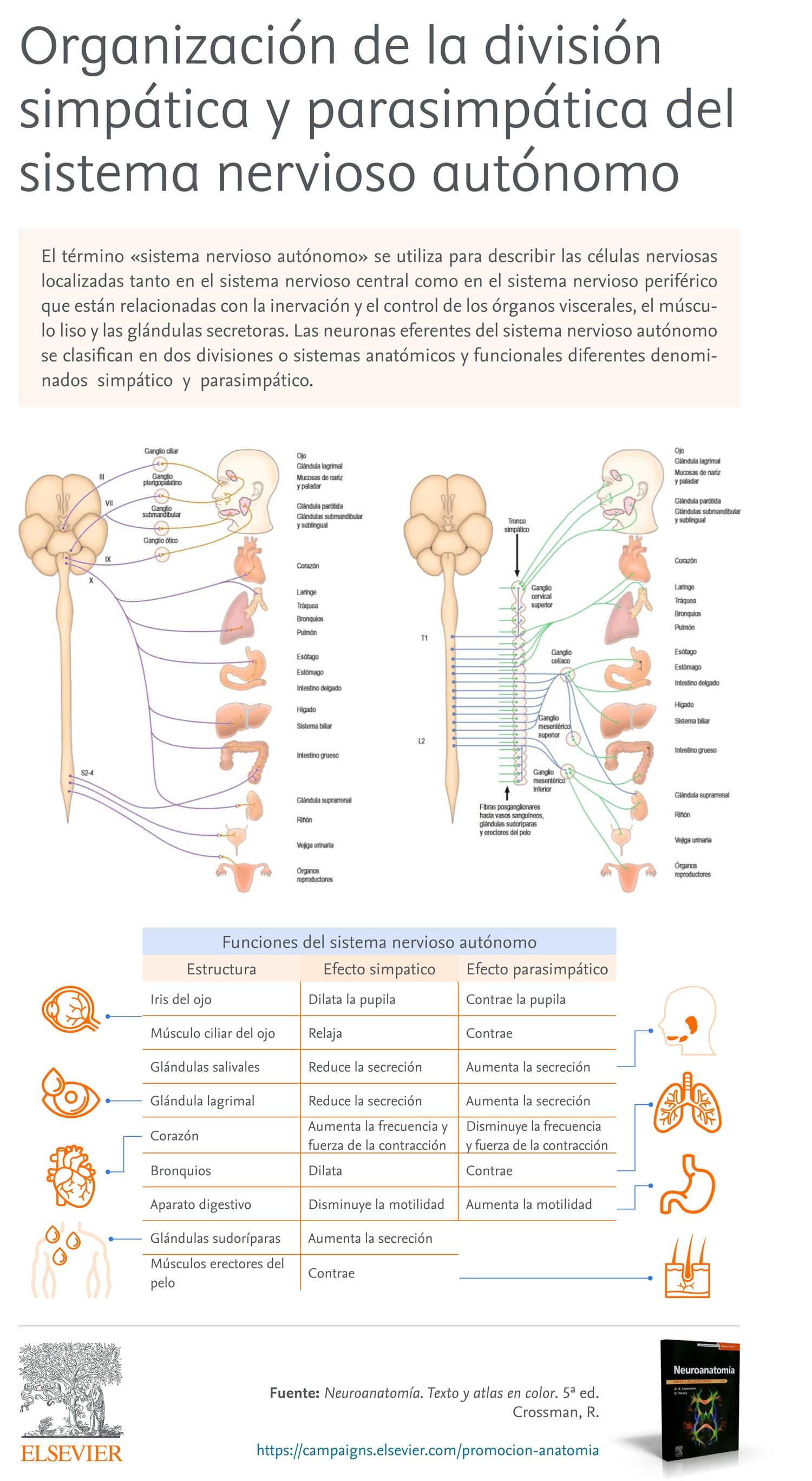 Organización de la división simpática y parasimpática del sistema nervioso autónomo
