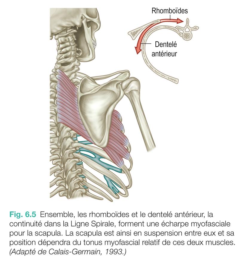 Fig. 6.5 Ensemble, les rhomboïdes et le dentelé antérieur, la continuité dans la Ligne Spirale