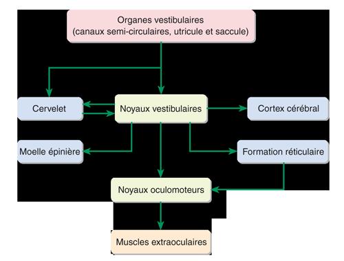 Figure 16.9 Schéma illustrant les principales connexions neuronales du système vestibulaire.