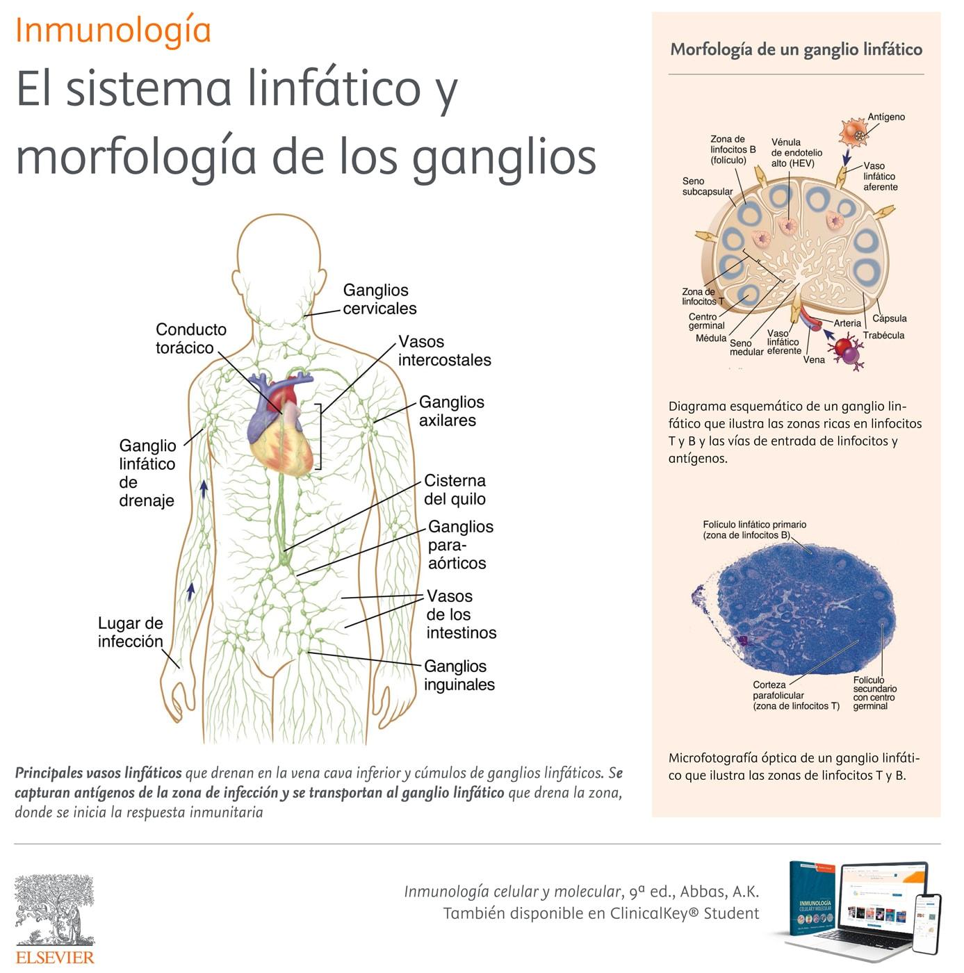 El sistema linfático y morfología de los ganglios