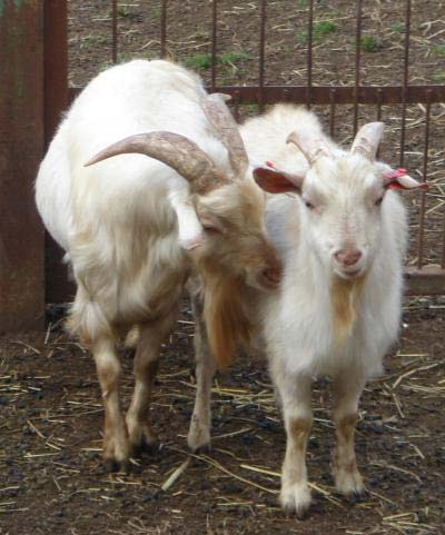 Anyone who has ever spent time around goats knows they have a certain smell. By carefully analyzing eau de male goat, researchers reporting in Current Biology have now identified a novel, citrus-scented ingredient that speaks directly to the females. It acts on female goats' brains to turn their reproductive systems on. (Credit: Current Biology, Murata et al)