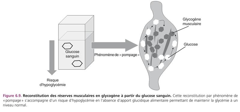 Figure 6.9. Reconstitution des réserves musculaires en glycogène à partir du glucose sanguin. Cette reconstitution par phénomène de « pompage » s'accompagne d'un risque d'hypoglycémie en l'absence d'apport glucidique alimentaire permettant de maintenir la glycémie à un niveau normal.