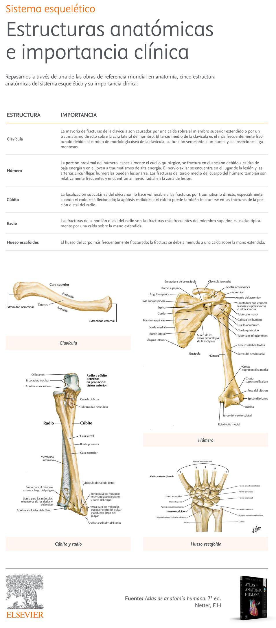 Infografia-Sistema-esqueletico_Estructuras-anatomicas-importancia-clinica.jpg