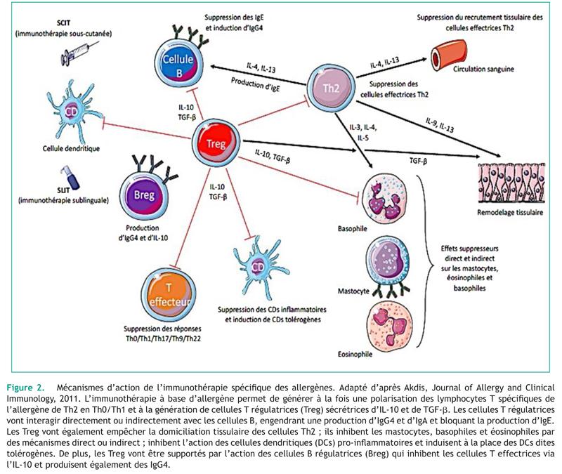 Figure 2. Mécanismes d'action de l'immunothérapie spécifique des allergènes. Adapté d'après Akdis, Journal of Allergy and ClinicalImmunology, 2011. L'immunothérapie à base d'allergène permet de générer à la fois une polarisation des lymphocytes T spécifiques del'allergène de Th2 en Th0/Th1 et à la génération de cellules T régulatrices (Treg) sécrétrices d'IL-10 et de TGF-. Les cellules T régulatricesvont interagir directement ou indirectement avec les cellules B, engendrant une production d'IgG4 et d'IgA et bloquant la production d'IgE.Les Treg vont également empêcher la domiciliation tissulaire des cellules Th2 ; ils inhibent les mastocytes, basophiles et éosinophiles pardes mécanismes direct ou indirect ; inhibent l'action des cellules dendritiques (DCs) pro-inflammatoires et induisent à la place des DCs ditestolérogènes. De plus, les Treg vont être supportés par l'action des cellules B régulatrices (Breg) qui inhibent les cellules T effectrices vial'IL-10 et produisent également des IgG4.