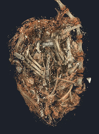 3D image of the bones and teeth inside the stomach of the mummified kestrel SACHM 2575 (© Stellenbosch University)