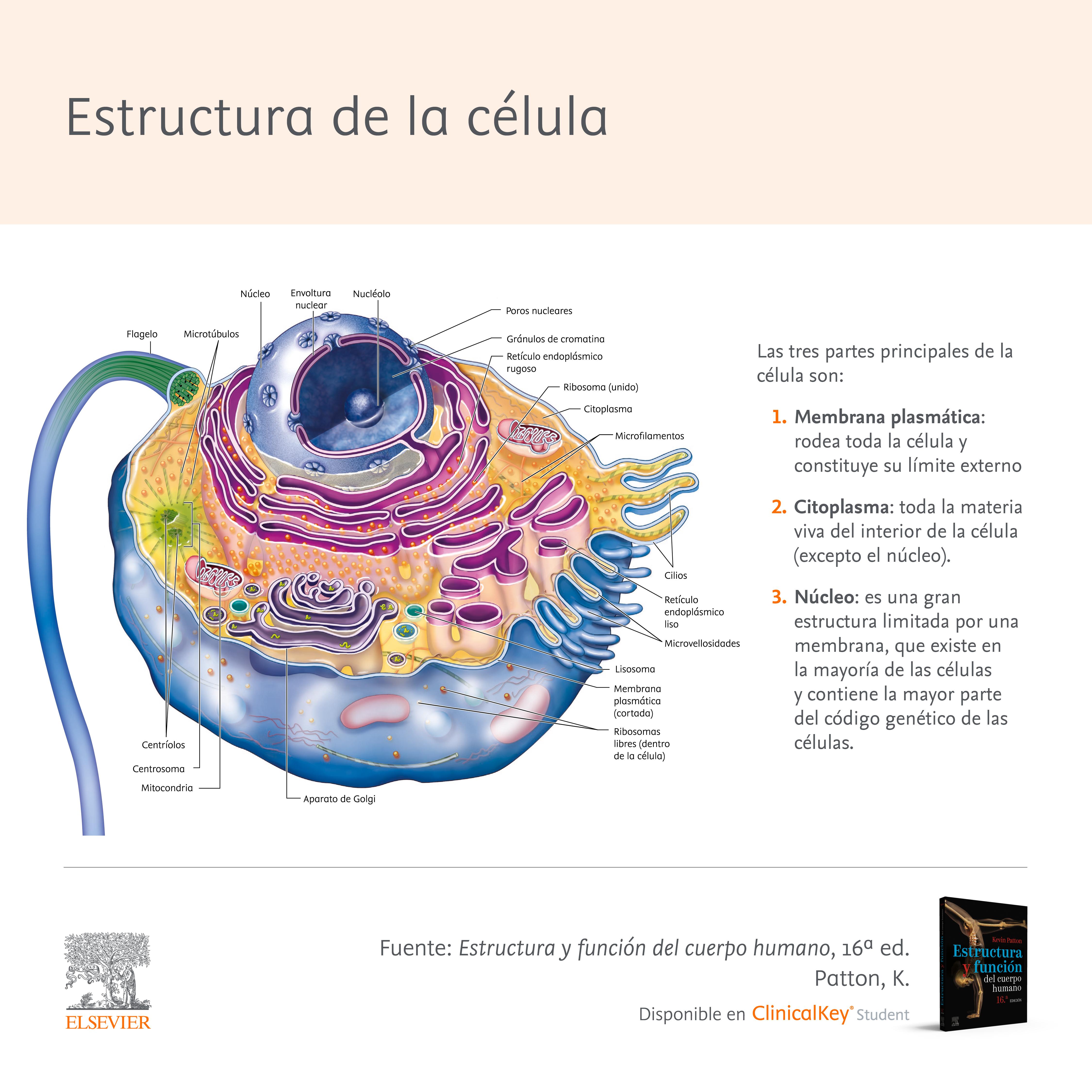 Anatomía y estructura de la célula: tamaño, composición y funciones