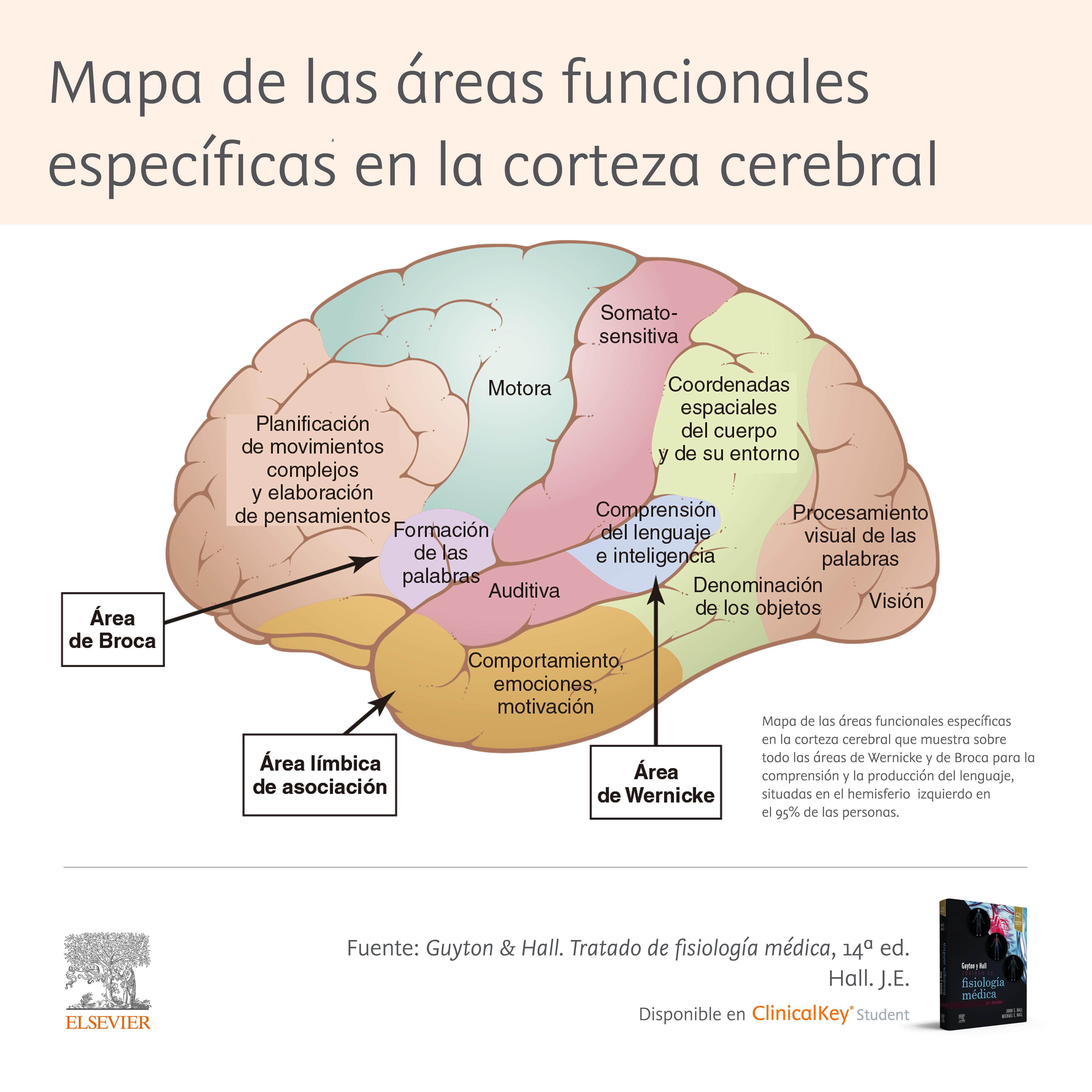 Áreas funcionales del cerebro