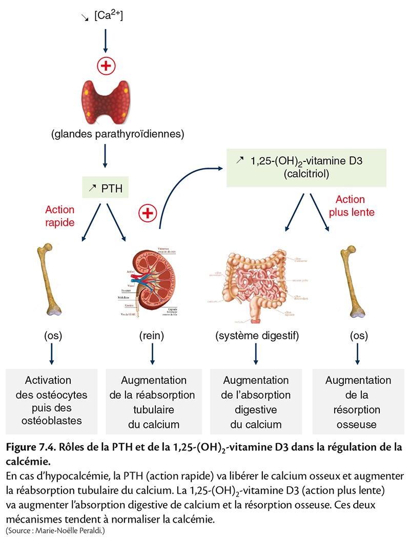 Figure 7.4 . Rôles de la PTH et de la 1,25-(OH) 2 -vitamine D3 dans la régulation de la calcémie.