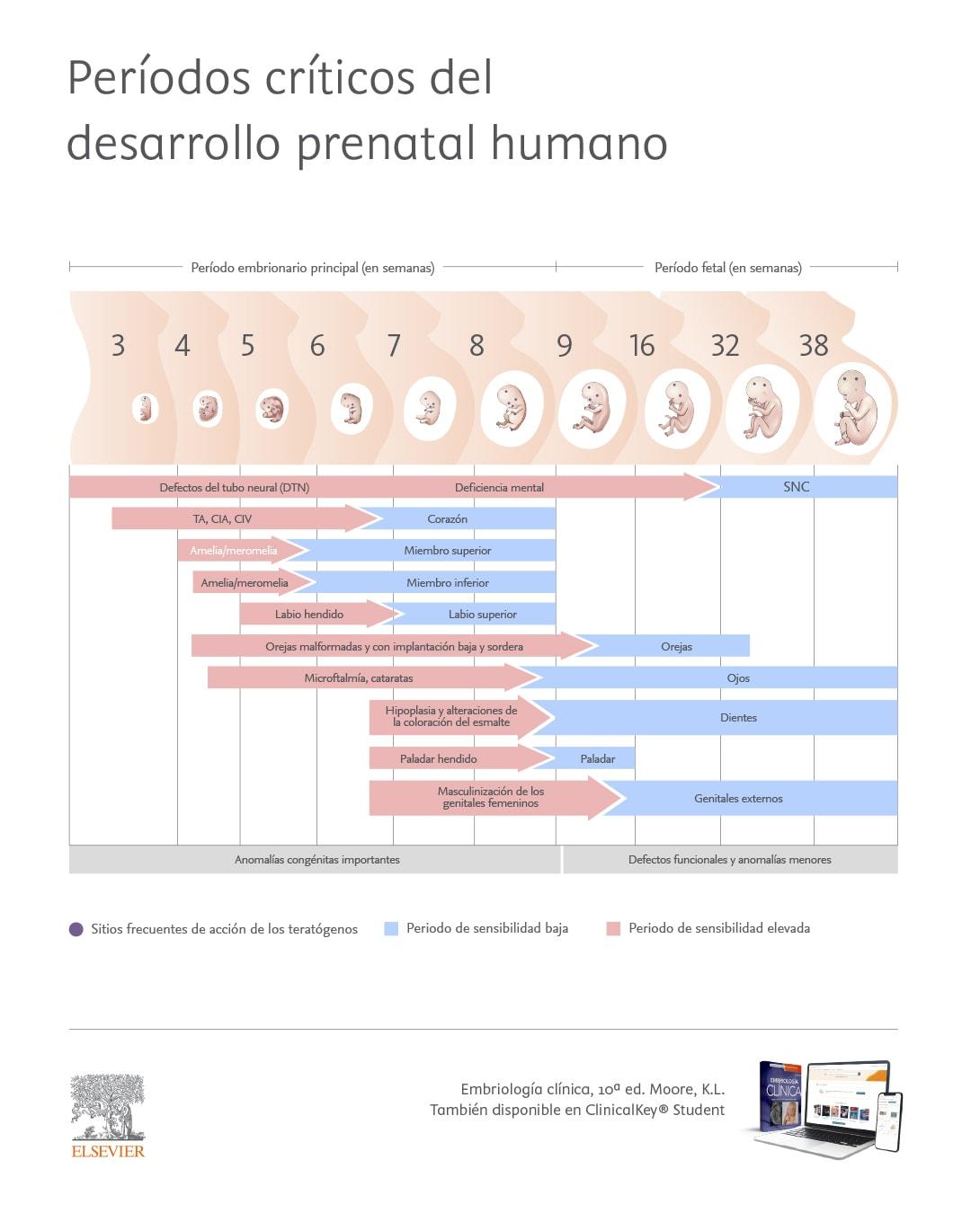 Períodos críticos del desarrollo prenatal humano
