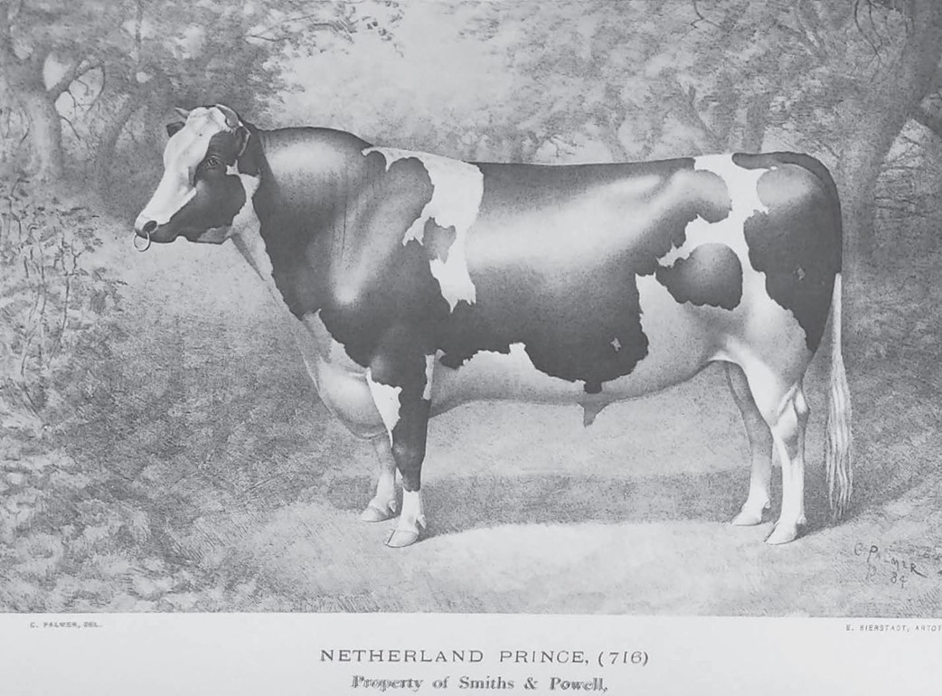 Picture of Netherland Prince from the Holstein Herd-Book