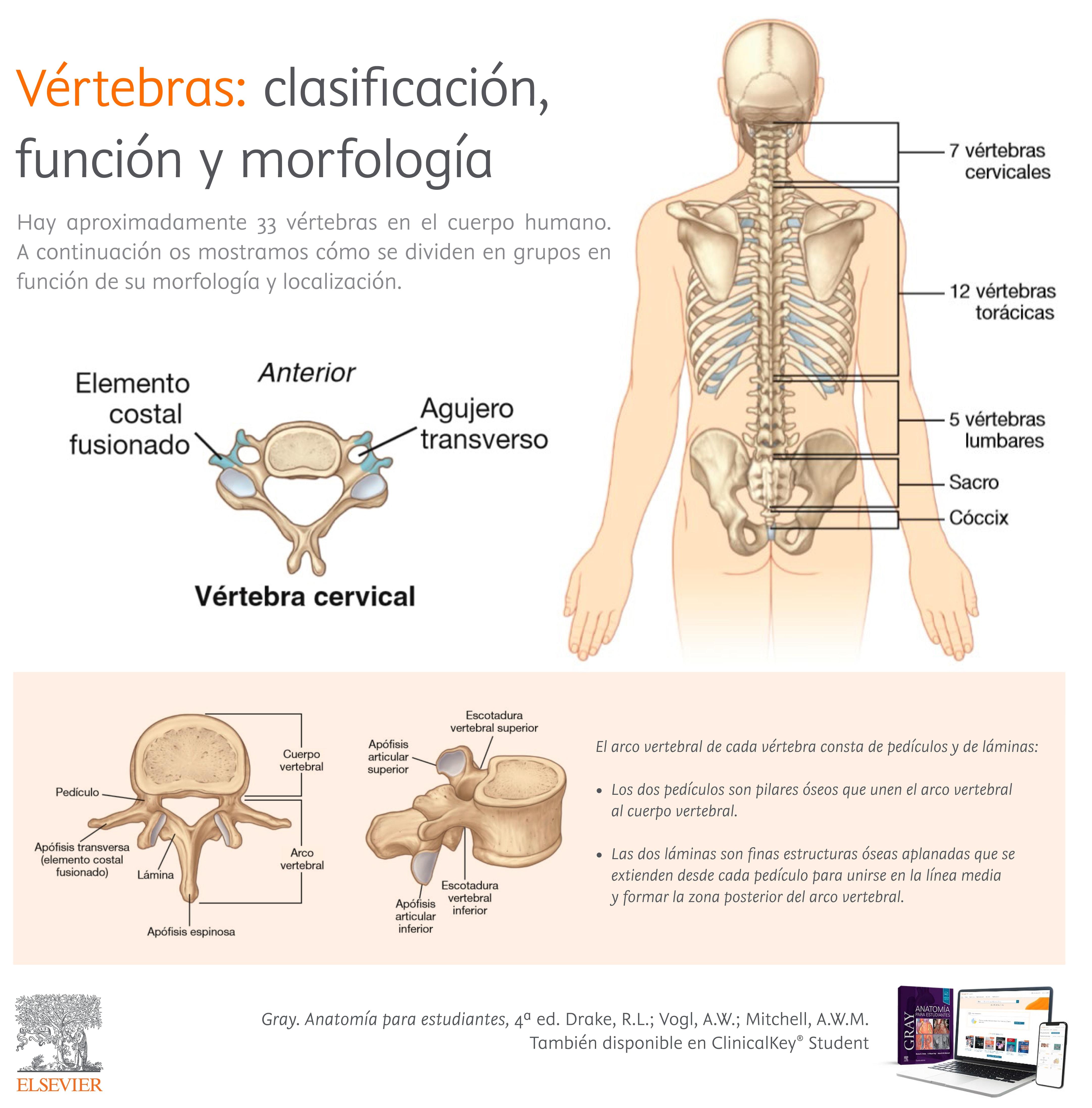 1-InfografiaVertebras-clasificacion-funcion-morfologia.jpg
