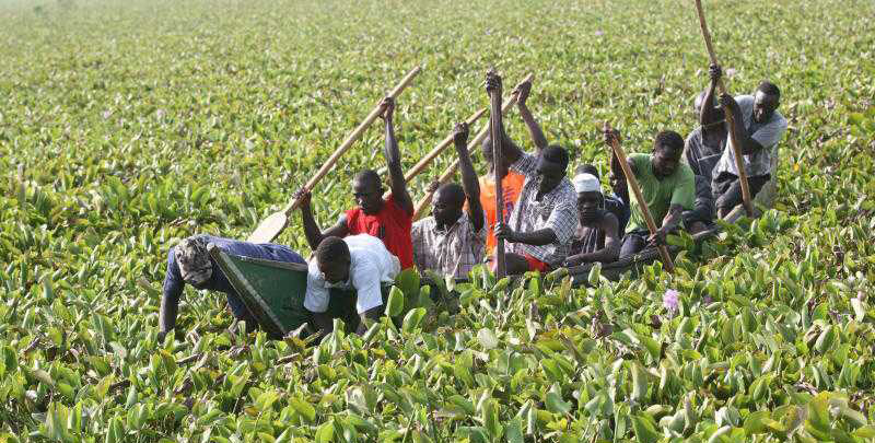 Invasive water hyacinth plants have formed a dense mat on the surface of Lake Victoria in Kenya, making it hard to navigate. (Photo by Clifford Okoth Owino)