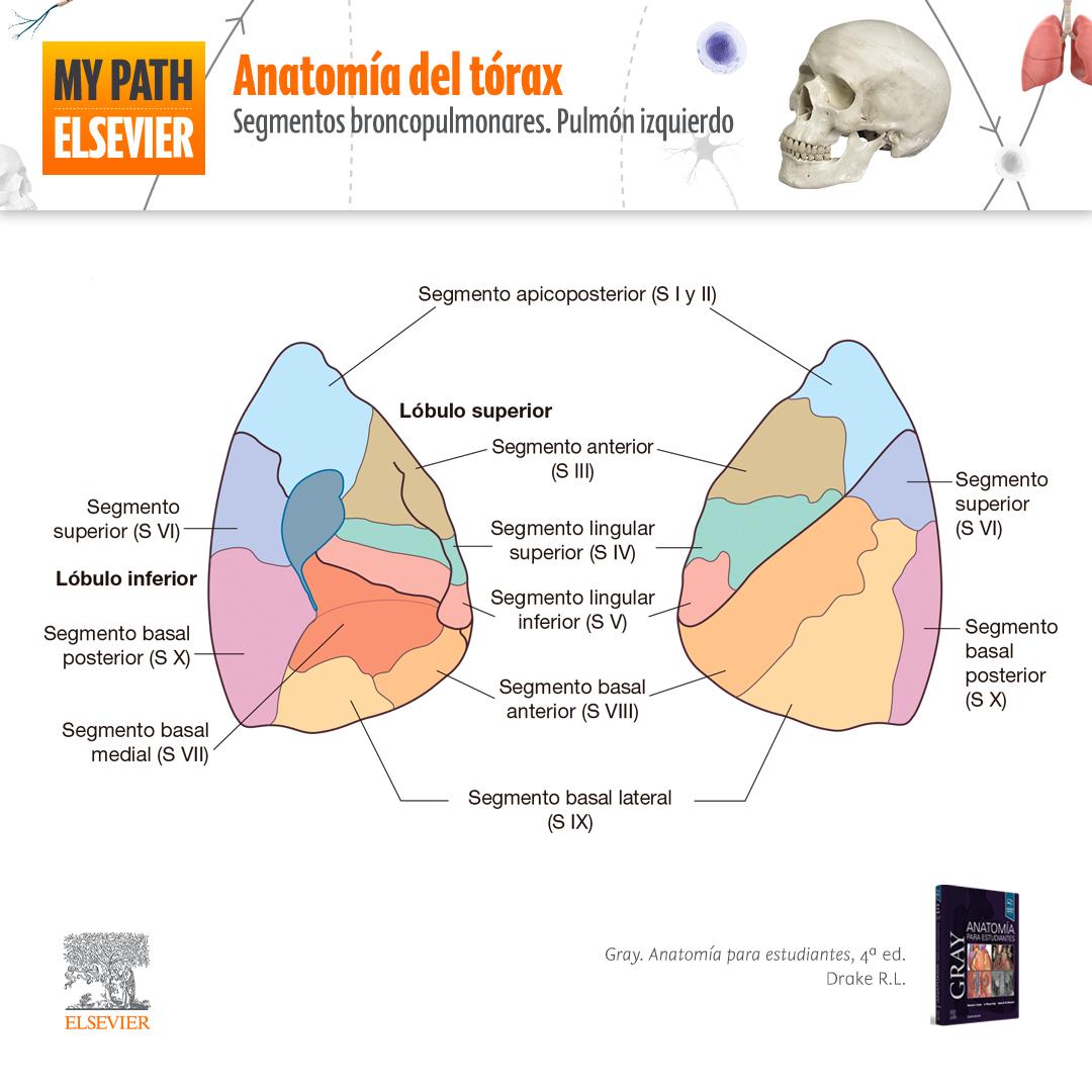 Anatomía del tórax: segmentos broncopulmonares