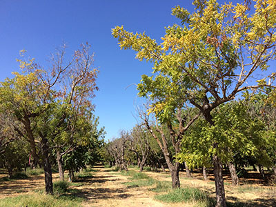 Walnut trees dead or dying from thousand cankers disease. The defoliated trees are dead, and the trees with yellow foliage are dying. (Photo by Stacy Hishinuma, Department of Entomology and Nematology, UC Davis)