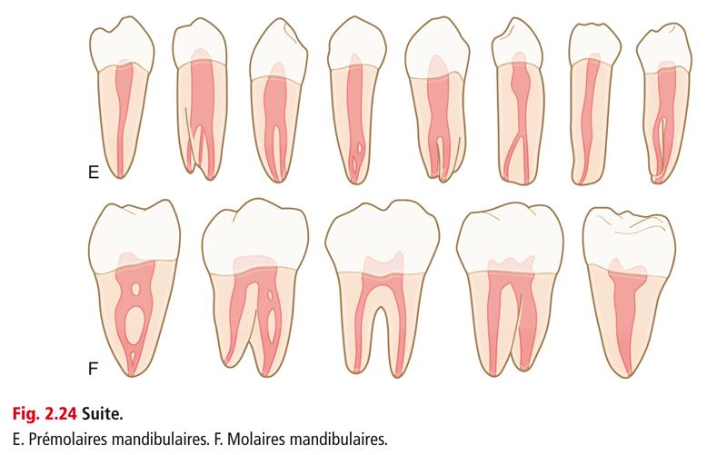 E. Prémolaires mandibulaires. F. Molaires mandibulaires.