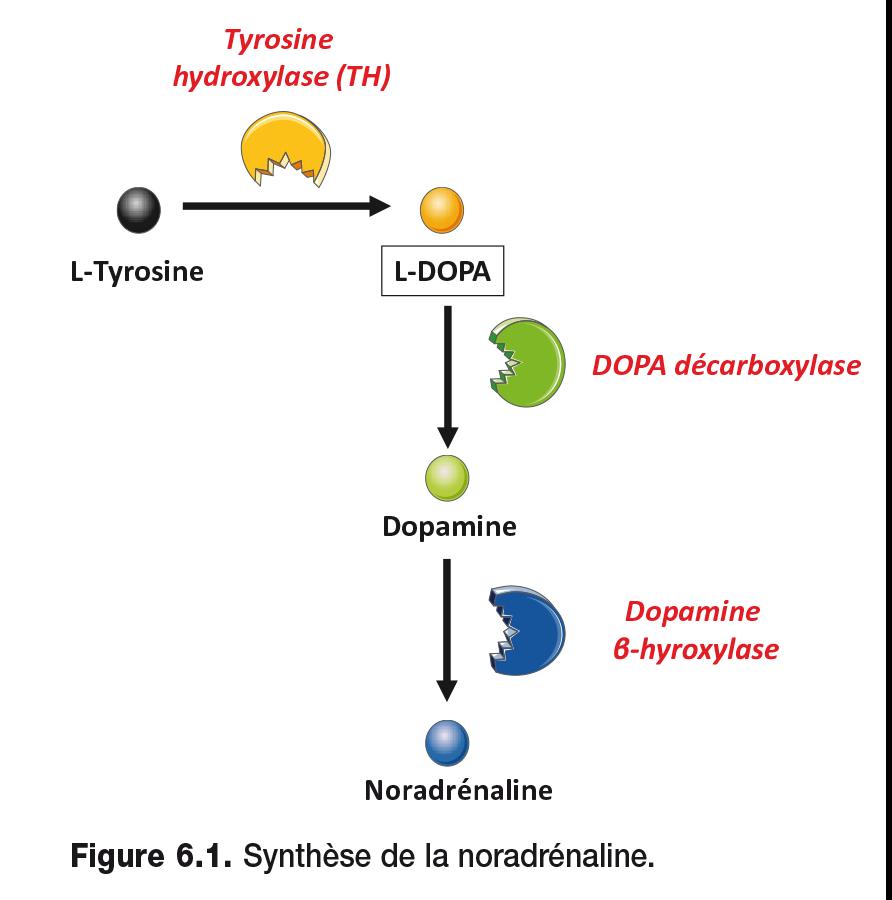 Synthèse de la noradrénaline.