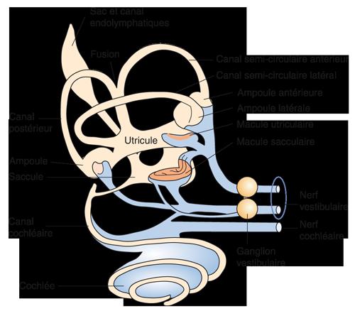 Schéma montrant les principales structures du labyrinthe membraneux (représenté en orange clair) et leurs connexions neuronales (en bleu).