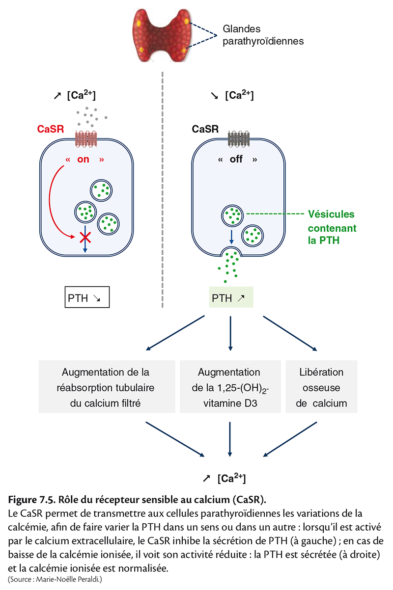 Figure 7.5 . Rôle du récepteur sensible au calcium (CaSR).