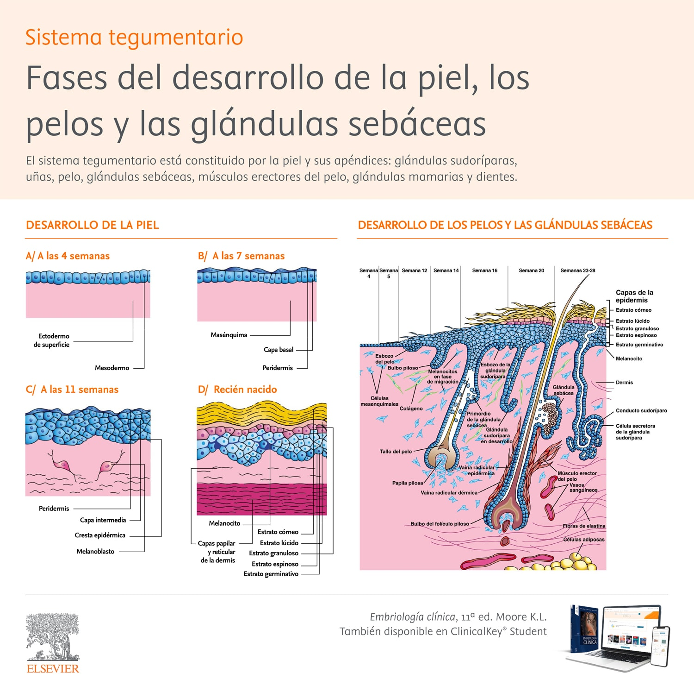 Fases del desarrollo de la piel, los pelos y las glándulas sebáceas