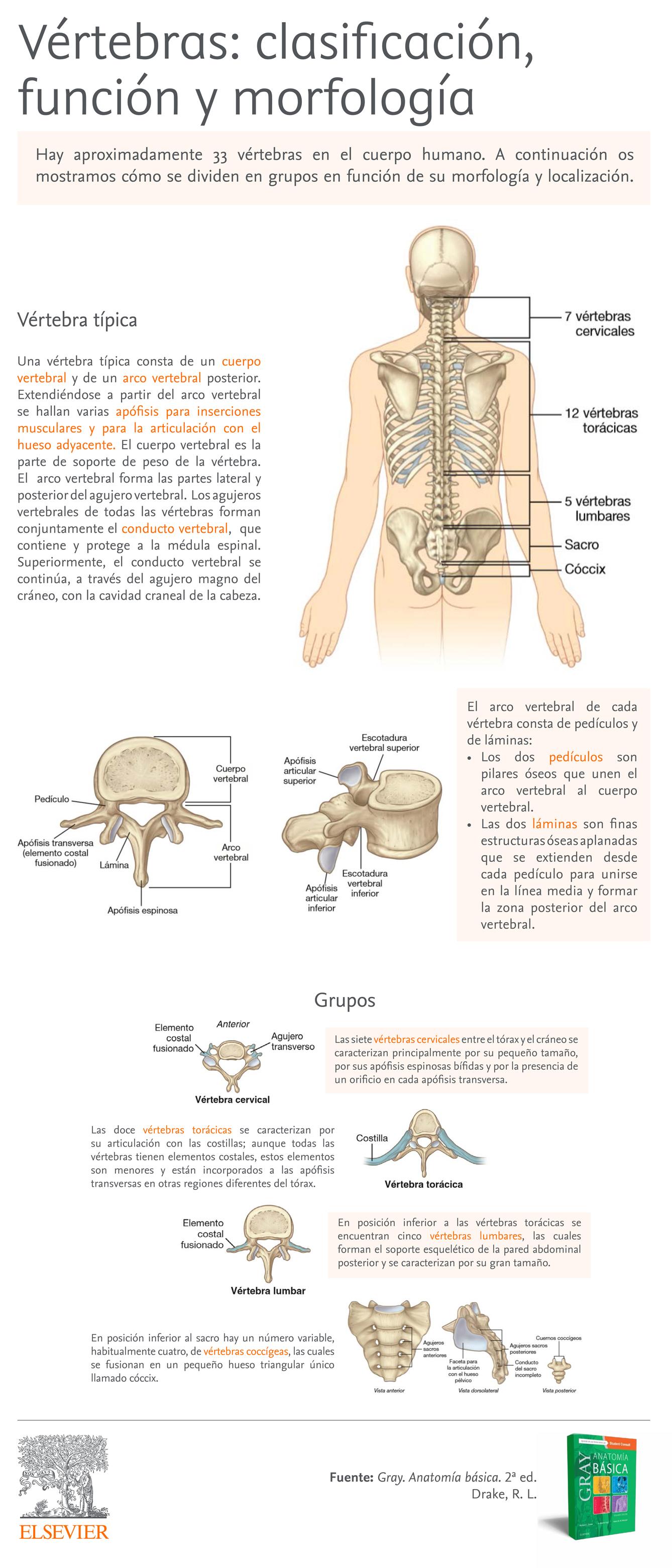 Vértebras morfología y clasificación