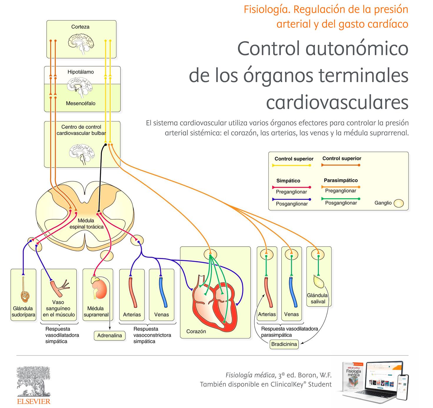 Control autonómico de los órganos terminales cardiovasculares