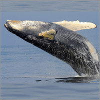 Humpback whale rebounds from endangered list in Australia
