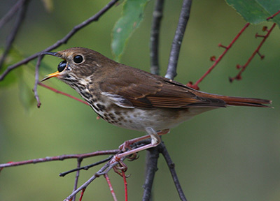 A hermit thrush is feeding on black cherry. (Photo by Ryan Brady)