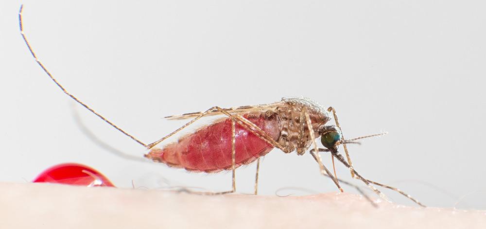 The mosquito Anopheles stephensi transmits malaria. (Credit: Joachim Pelikan 2015)