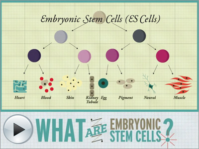 essays on embryonic stem cells Analysis and synthesis essay my inquiry question for this research project is as follows is embryonic stem cell research ethical in pursuing an answer for.