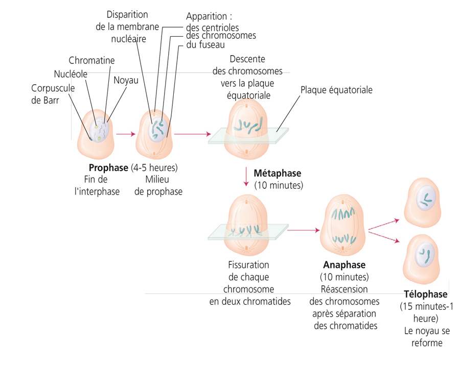 IFSI anaphase telophase cycle cellulaire