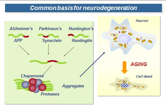 Common basis for neurodegeneration (Source: Ana Maria Cuervo, MD, PhD)