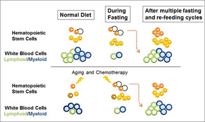 During fasting the number of hematopoietic stem cells increases but the number of the normally much more abundant white blood cells decreases. In young or healthy mice undergoing multiple fasting/re-feeding cycles, the population of stem cells increases in size although the number of white blood cells remain normal. In mice treated with chemotherapy or in old mice, the cycles of fasting reverse the immunosuppression and immunosenescence, respectively. (Credit: Cell Stem Cell, Cheng et al.)
