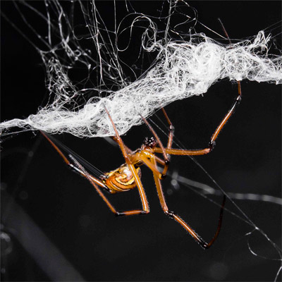 Are black widow spiders chivalrous or just jealous?