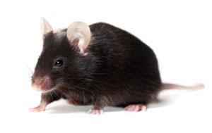 Lab mouse (© istockphoto.com/anyaivanova)