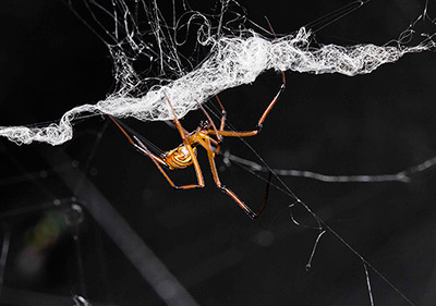 By destroying parts of the female's web, the male black widow make it less attractive to rival males. He does this by cutting the female web and wrapping it with his own silk. (Photo © Sean McCann, PhD, co-author of the paper)