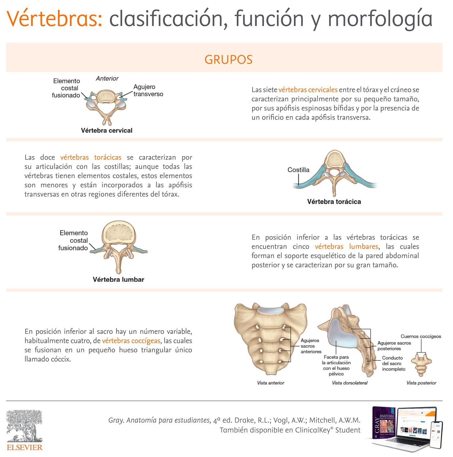 Función vértebras