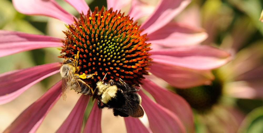 A honeybee and a bumblebee foraging on a purple coneflower. (Photo by <a href=&quot;http://kathykeatleygarvey.com&quot;>Kathy Keatley Garvey&quot;</a>)