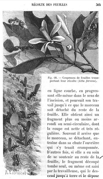 &quot;Coupeuses de feuilles transportant leur récolte (Atta fervens).&quot; Illustration by A.L. Clément, included in Ernest André, <em>Les Fourmis </em>(Paris: Librairie Hachette, 1885), p. 305.