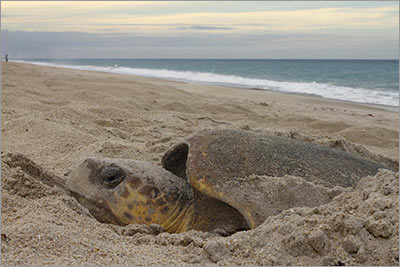 A loggerhead sea turtle nesting in the Archie Carr National Wildlife Refuge in Melbourne Beach, Florida (Photo by J. Roger Brothers)