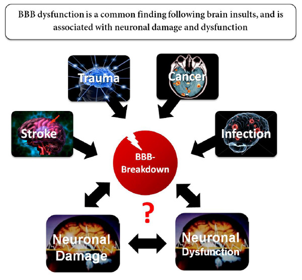 Damage to the blood-brain barrier is associated with neuronal damage and dysfunction (Source: Itai Weissberg et al)