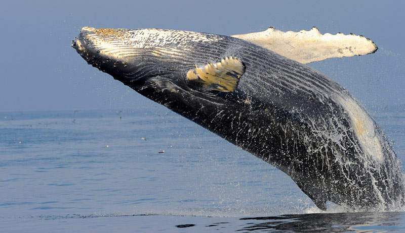 Humpback whales, which have long been listed as an endangered species in East and West Australia, are making a comeback. (Photo by Dr. Ari S. Friedlaender, taken under NMFS permit)
