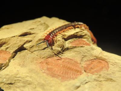 A living arthropod (centipede Cormocephalus) crawls over its 515-million-year-old relative that lived during the Cambrian explosion (trilobite Estaingia). A study of arthropods reveals that morphology and genes evolved five times faster during evolution's