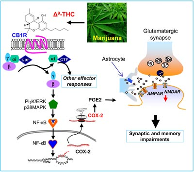 The signaling pathway that leads to learning and memory impairments induced by marijuana (Credit: Cell, Chen et al)