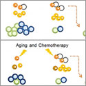 Fasting may protect against immune-related effects of chemotherapy and aging