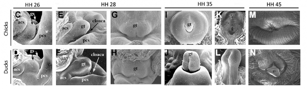 "Scanning electron microscopy of chick and duck external genital development. Anterior is to the left in (C)–(F) and to the top in (G)–(N). Chick and duck embryos initiate formation of paired genital swellings (C and D), which form a single tubercle during early outgrowth (E and H). Outgrowth arrests and the genital tubercle regresses in chick embryos (I, K, andM), but genital development continues in duck embryos (J, L, and N). Hamburger-Hamilton (HH) stage numbers are shown above. Abbreviations: gs, genital swellings; gt, genital tubercle; acs, anterior cloacal swelling; pcs, posterior cloacal swelling. (Source: ""Developmental Basis of Phallus Reduction during Bird Evolution,"" Ana Herrera et al, Current Biology)"